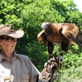 The Wedge Tailed Eagle is the largest Australian