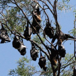 A closer look at the colony of Spectaled Flying-fox