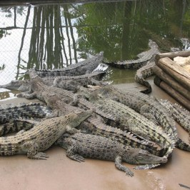 Cleaning the crocodile cage is a challenge.