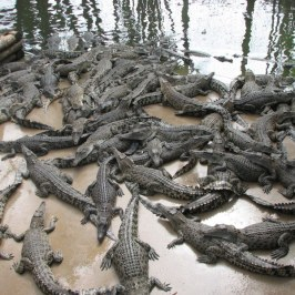 Count the crocodiles. I got 74.