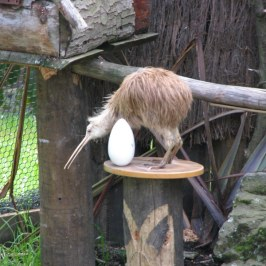 The Kiwi is a nocturnal bird.
